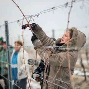 Munkások szőlőt metszenek a Csányi Pincészet szőlőültetvényén a Villányi borvidéken Kisharsány közelében 2018. február 6-án.